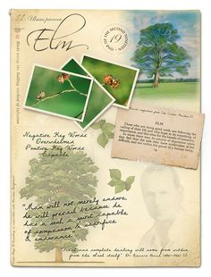 Elm Bach Flower Picture Card