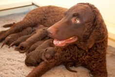 The 10 Most Loved Water Dogs ~ Curly Coated Retriever