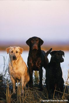 Mind Blowing Facts About Labrador Retrievers And Ideas. Amazing Facts About Labrador Retrievers And Ideas. Big Dogs, I Love Dogs, Cute Dogs, Dogs And Puppies, Doggies, Animals Beautiful, Cute Animals, Hunting Dogs, Duck Hunting