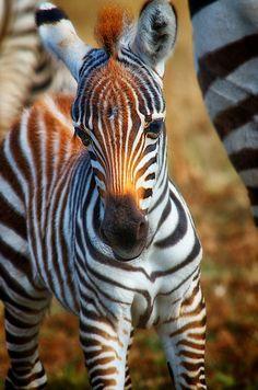 Gorgeous zebra by Grażyna Fuchs Zebras, Beautiful Horses, Animals Beautiful, Cute Baby Animals, Funny Animals, Wild Animals, Amazing Animals, Baby Zebra, Jolie Photo