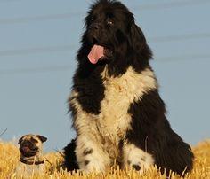 Pug & Newf - YES!!!! Big dog + little pug = <3 <3 <3 !!!