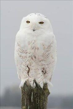 The rare snowy owl. Beautiful. www.blueridgeparkwaycabinrentals.com