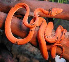 Paradox Amazon Tree Boa