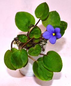 Pixie Blue: This is a Miniature trailer variety. The leaves are light green in color and plain/ovate in shape. The flowers are purple-blue in color with a darker center. This plant was hybridized by Sorano in 1974.
