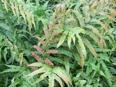 http://www.nznativeplants.co.nz/site/nativeplantc/images/originals/Blechnum%20novea%20zealandia_1.1.jpg