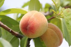 Best Way to Store Peaches