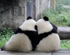 Panda bears or cuddle bears?