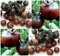 20 BLACK CHERRY Tomato seeds HEIRLOOM RARE SWEET ~vigorous grower dark red flesh by MySeeds.Co. $1.00. S&H is a FLAT RATE NO MATTER HOW MUCH YOU ORDER FROM US ~!!. Click or Copy & Paste Link Below For Bulk Order. www.amazon.com/gp/product/B00AXKH2I0. ~~ OVER 1,000+ VARIETIES & EXPANDING TO CHOOSE FROM ~~!!. This Order = 20 Seeds ~!!. ~ ~ ~ WE OFFER BOTH PKT. & BULK SIZES ~ ~ ~ BLACK CHERRY 65 days. If you love cherry tomatoes, this is the one to plant for that unusu...