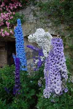 Haddon Hall delphiniums by nanteater, via Flickr