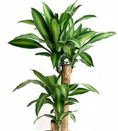 How To Grow Dracaena Fragrans - Corn Plant -