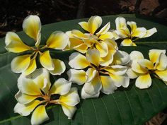 Although you don't have to live in the tropics to grow plumeria in the home garden, you should be aware of its growing requirements beforehand. Often grown in the garden as an ornamental shrub or small tree, plumeria plants need to be grown in well-draining soil that is slightly acidic. They also need at least six hours of full sun.
