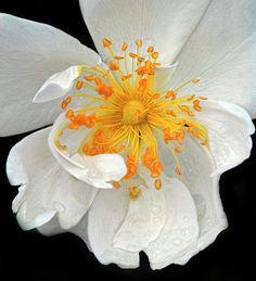 White Rose, Dave Mills