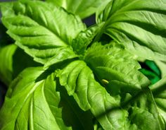 7 tips for growing mad giant basil plants | @offbeathome