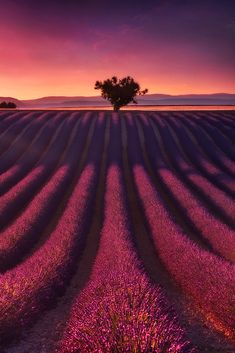 Lavender field in Valensole, Provence, France.