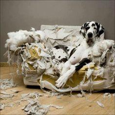 Oh dear - co za słodziak Tak Takiego Psa bym chciał .... no może nie o takim charakterze i skłonnościach do niszczenia