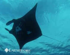 Want a chance to dive with the world's largest rays? Join us with Project Manta to learn about manta rays, their behavior, and conservation needs. These gentle giants are classified as vulnerable in the IUCN Red List of Threatened Species, but is not currently protected in Australian waters. Come experience the beautiful world of the manta ray first hand! In 2015 the project will be relocating to Western Australia!