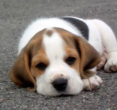 Beagles.  My 1st dog ever was a BEAGLE...they'll always have a special place in my heart.