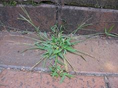 HGTV offers tips for fighting crabgrass
