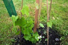 plantio uva