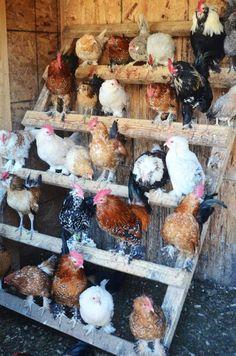 Backyard Chicken Coop Plans, Raising Backyard Chickens, Cute Chickens, Keeping Chickens, Urban Chickens, Toys For Chickens, Bantam Chickens, Backyard Farming, Cute Chicken Coops