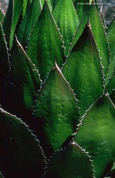 Succulent  (?)