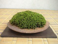 《 盆草遊楽 》の画像|エキサイトブログ (blog)