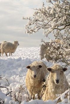 In pictures: South Downs beauty Animals And Pets, Cute Animals, Wooly Bully, Sheep Art, Barnyard Animals, Sheep And Lamb, Winter Scenery, Mundo Animal, All Gods Creatures