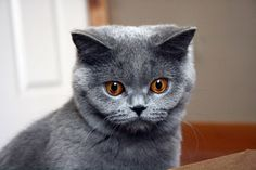 beautiful cat breeds - Here the list of 14 most beautiful cat breeds in the world.#beautifulcatbreeds #cats #beautifulcat #catbreeds #BritishShorthair