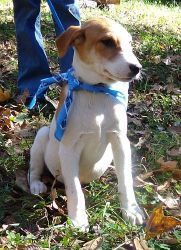 T Bone ($50 off) is an adoptable Labrador Retriever Dog in Salem, NH. Hi! I'm T-Bone. Aren't I handsome? I even posed for the pictures like a pro. I was saved from the kill shelter where my siblin...