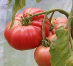 Eko bifftomat Brandywine Den absolut godaste tomaten! Lite mer svårodlad och ger liten skörd. Ger enorma frukter! Binds upp och tjuvas. 25kr
