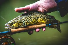 Tiger trout                                                                                                                                                                                 More