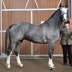 Ballineen Blue Mountain RID (Irish Draught Horse). I'm such a sucker for grays.