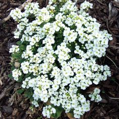"Trough Gardens-Wall Rock Cress  most common form can overtake a trough garden with its spreading growth.  white-pink-lavender blooms @spring.  Name: Arabis spp.  Size: 4-6"" tall; 4-12"" wide  Zones: 4-7  Top Picks: Variegated wall rock cress -mat-former w/white flowers @spring  foliage w/yellowish leaf margins-slightly less vigorous.  Spring Charm rock cress -loose rosettes of green leaves w/pinkish-purple blooms @spring."