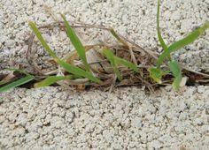 Une méthode bio simple et bon marché à utiliser dans les endroits où on rien ne doit pousser (le bord du trottoir et les interstices des dalles de béton sur un chemin ou une terrasse par exemple) Prendre 1 kg de sel (20 cents), faites le dissoudre dans 2 litres d'eau, dès que le sel …
