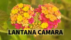 Lantana Camara Benefits