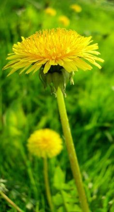 Organic Food - Dandelions are good sources of food, you can eat the greens or the flowers. The flowers are good dipped in egg, then rolled in flower and fried and roll in cinnamon and sugar.