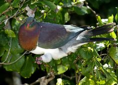 The New Zealand wood pigeon