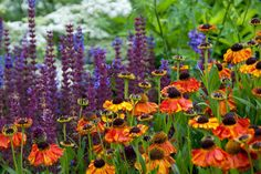 Garden Ideas, Border ideas, Perennial Planting, Perennial combination, Summer Borders, Fall Borders, Sneezweed, Helenium, Helenium Sain's Early Flowerer, Salvia Caradonna, Salvia Nemorosa Caradonna