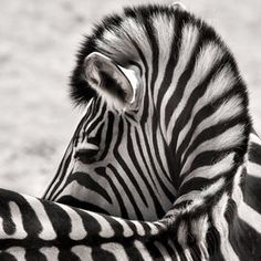 Zebra view from behind with curved spine, neck and mane. What a pretty view. Beautiful Black and White Animal Photography by Wolf Ademeit. #naturephotography