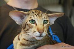 SNAPE =^..^= siamese & oriental shorthair cats =