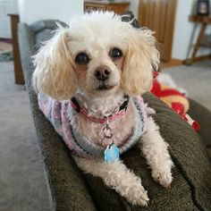 Thank you Teresa for sharing with The Poodle Patch Community....  and little 13 year old  Angel looks very happy with her family...  all love...