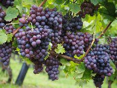 Vinná réva a pěstování (PIXABAY)