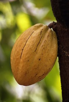 Where chocolate begins… :)  Cocoa plant seed / Cacao