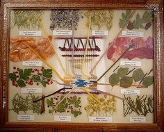 Plants used to make dyes by Navajo weavers. Image only.