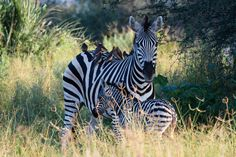 """""""Mother Zebra and Newborn Baby"""" by Anna Douglas: A new born baby and her mother early in the morning. The baby was newly born, only about 30 minutes old by the time we found this dazzle, still wet and struggling to walk. This photo was taken while on safari in Botswana with Nat Hab."""