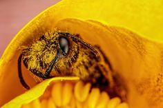 Miner Bee I [6000x4000] [OC] - http://ift.tt/1W7A2rN