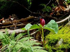 Red Trillium cuneatum, Sweet Betsy, in the Cherokee National Forest.