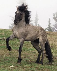 This is not a Blue Roan Curly/Friesian X, as it is identified in the original pin. It's a Mustang named Flint, who appears in a nature documentary. The photo is by Carol Walker. http://www.kpbs.org/news/2009/oct/23/nature-cloud-challenge-stallions/