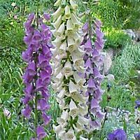 Foxglove bears tall, dramatic spikes of tubular flowers with speckled throats. Foxglove blooms in midsummer and adds elegance t...