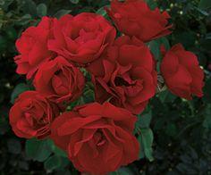 Hope for Humanity Shrub Rose, named to honor the centennial of the Canadian Red Cross. Garden Bulbs, Garden Shrubs, Garden Plants, Floribunda Roses, Shrub Roses, Growing Roses, Growing Plants, Rose Bushes For Sale, Rose Wall